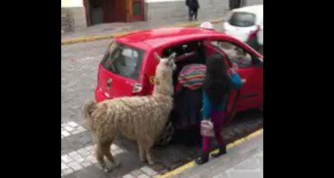 Taksiye binen lama görenleri şaşırttı