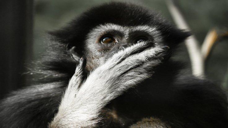 Nesli tükenen maymunu yiyip sosyal medyada paylaştılar