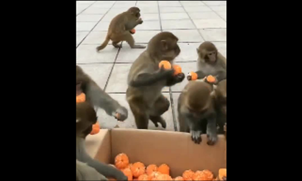 Komünist maymunlar
