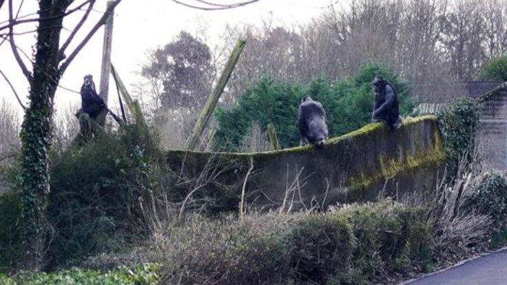 Ağaç dallarını merdiven yapan şempanzeler, hayvanat bahçesinden kaçtı