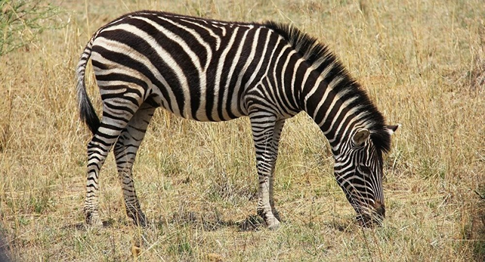 Zebraların çizgilerinin ne işe yaradığı öğrenildi