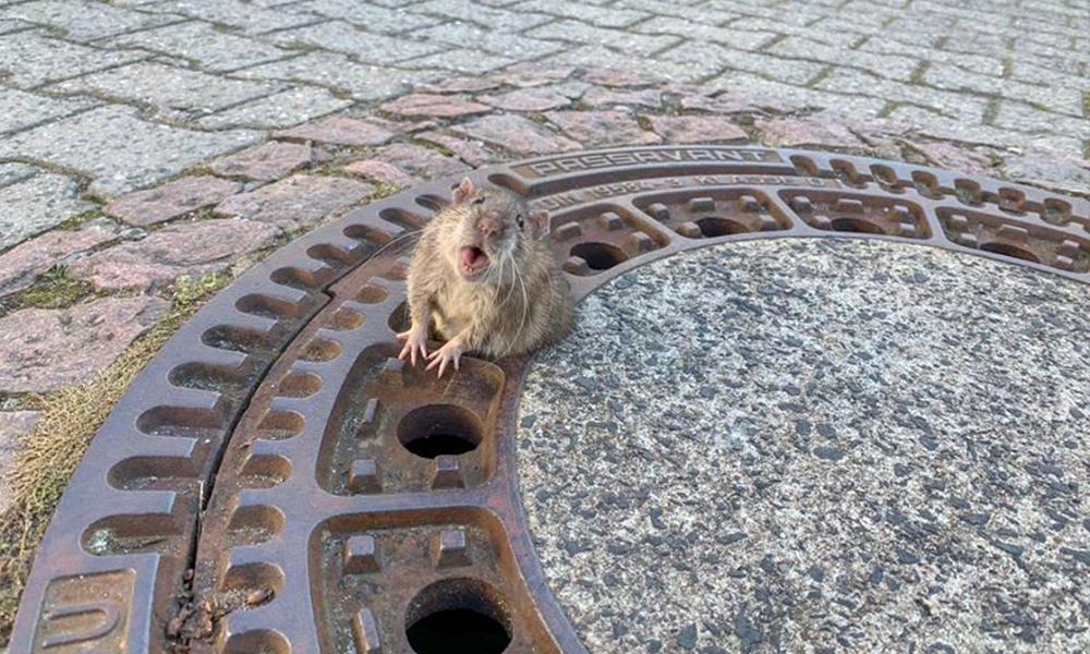 Obez sıçan rögar kapağına sıkıştı