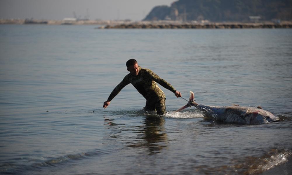 Marmara Denizi'nde dev orkinoslar karaya vurdu