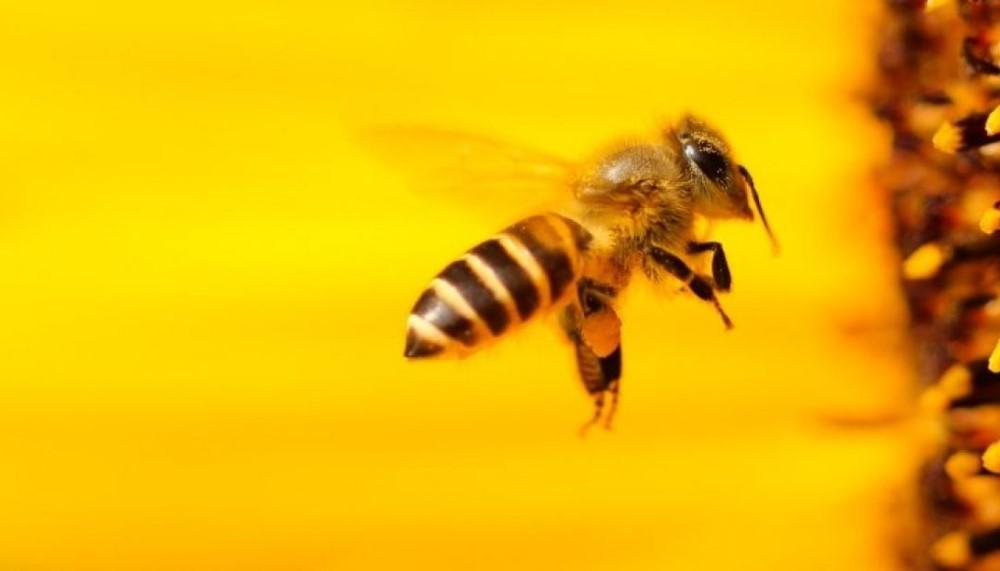 Meşhul bağışçı… Arılar için 500 bin dolar hibe etti