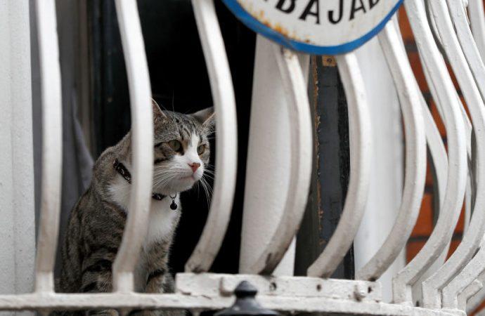 Assange'ın kedisi, sahibinin gözaltına alınışını böyle izledi