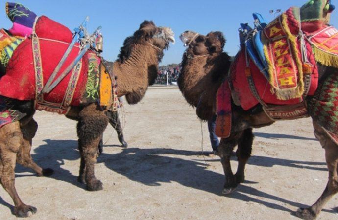 Belediye başkanlığı görevini devralmaya deve ile geldi!