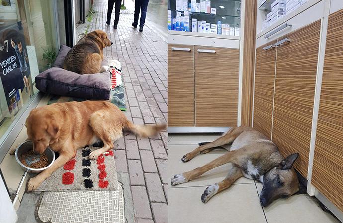 Yaralanan sokak köpeği eczaneye girdi patisini uzattı ve….