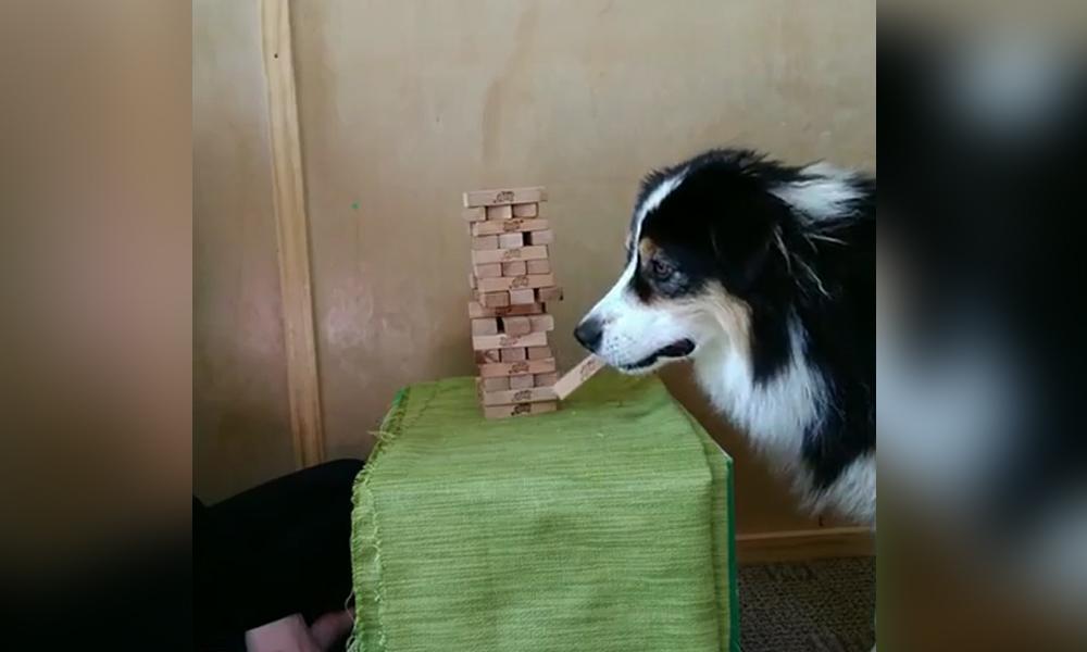 Jenga oynayan köpeğin dikkati görenleri şaşırttı