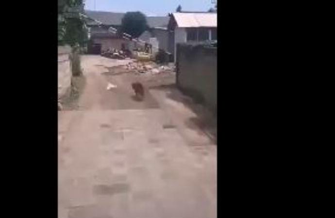 Tavuk, korkudan evrim geçirdi