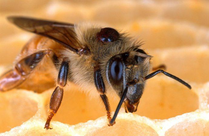 İngiltere'de 'Türk arı' alarmı