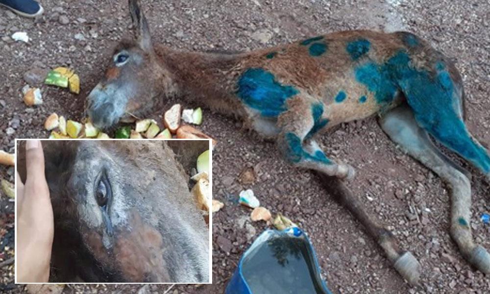 Hasta olduğu için ormana terk edilen yavru eşek, kurtarılırken göz yaşı döktü