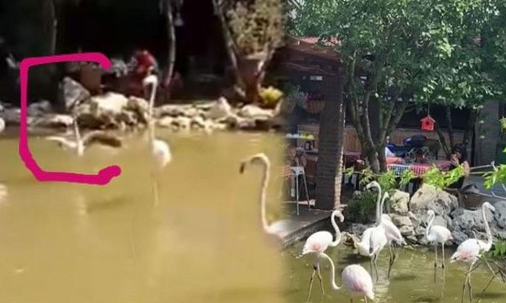 İstanbul'da kahvaltı mekanının dekoru için kaçmasınlar diye flamingoların kanatları kesildi iddiası