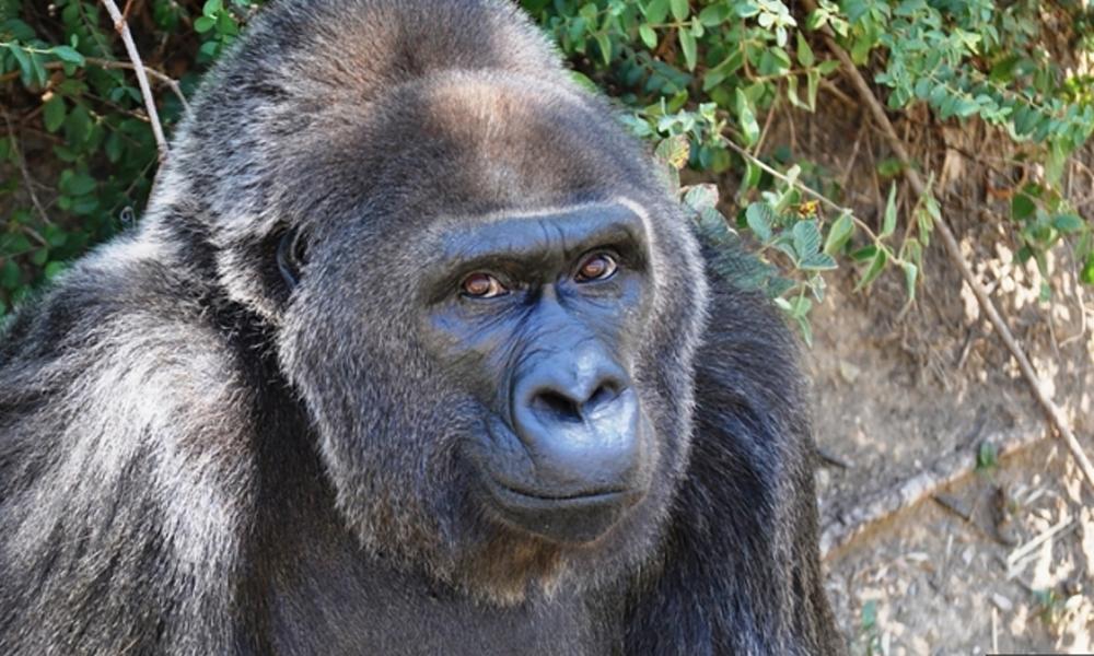 Dünyanın bilinen en yaşlı gorili Trudy öldü