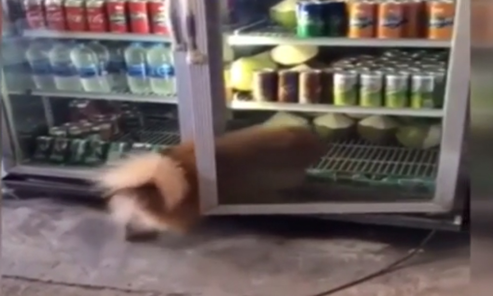 Sıcaktan bunalan köpek içecek dolabına girdi