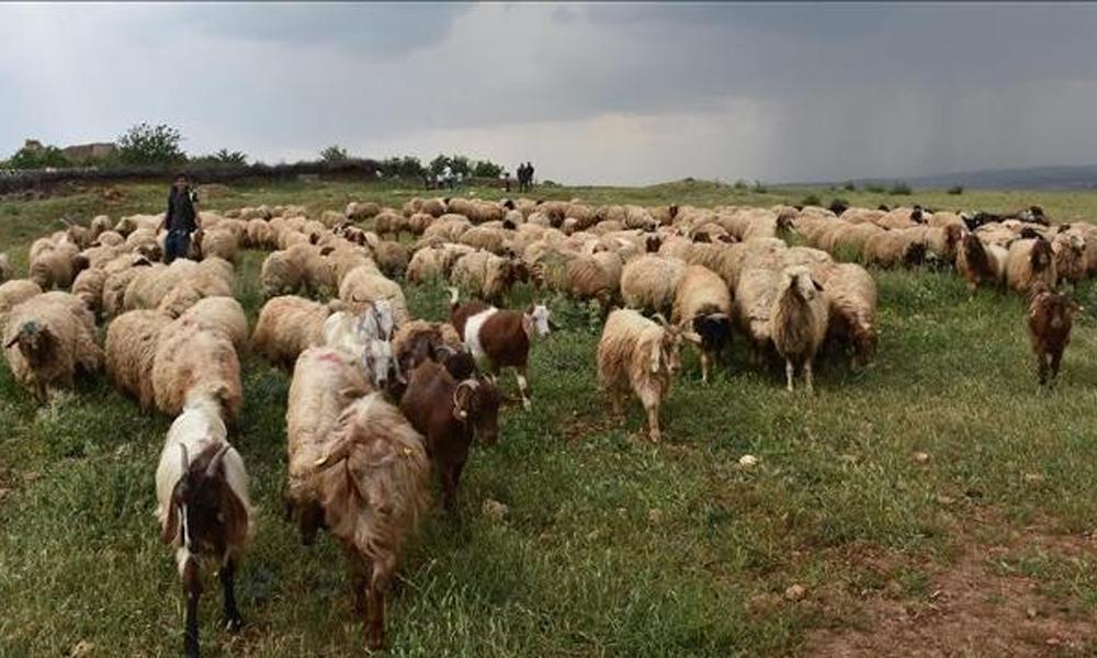 Çanakkale karantinaya alındı! Bakanlığın dağıttığı hayvanlarda veba şüphesi…