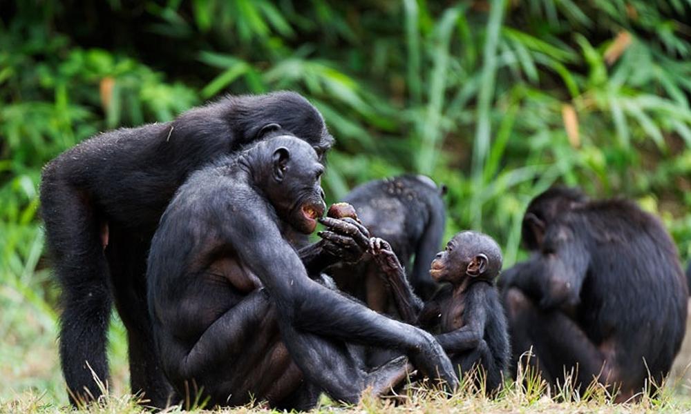 Uzmanlar açıkladı: Birlikte video izleyen şempanzelerin 'aralarındaki bağ ve yakınlık güçleniyor'