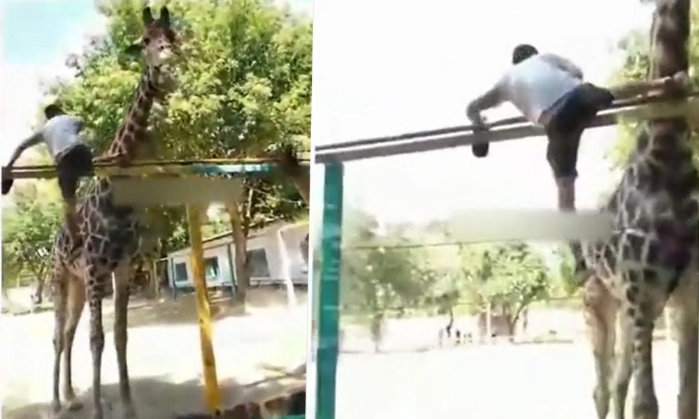Sarhoş adam hızını alamadı zürafanın sırtına bindi: O benim kardeşim…