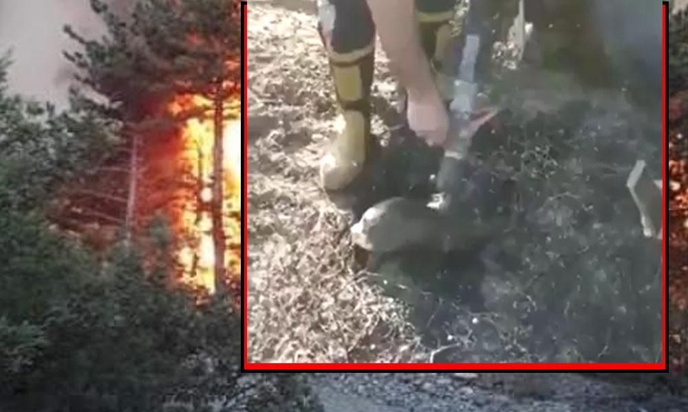 İzmir'deki yangında sadece ağaçlar yanmadı: Kana kana su içen kaplumbağa