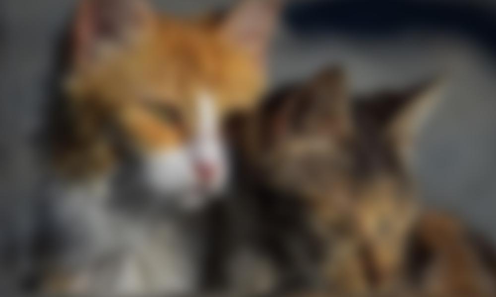 Vicdansızlık! Kedileri kaynar su dökerek öldürdüler iddiası