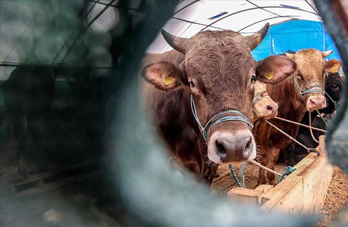 Canlı hayvan ithalatı yüzde 63 azaldı! En fazla ihracat hangi ülkeye yapıldı?