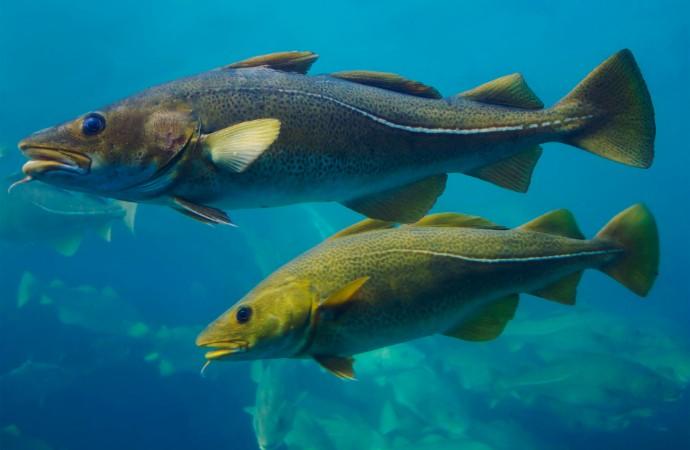 Küresel ısınma balıklardaki zehir seviyesini arttırıyor