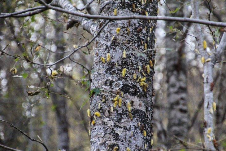 Kütahya ormanlarında tırtıl istilası