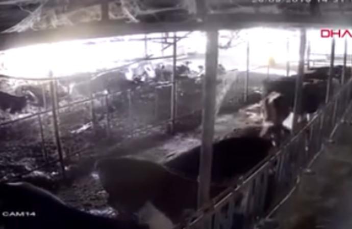 Ahırda deprem anı böyle görüntülendi: Hayvanlar bir anda ayağa kalktı
