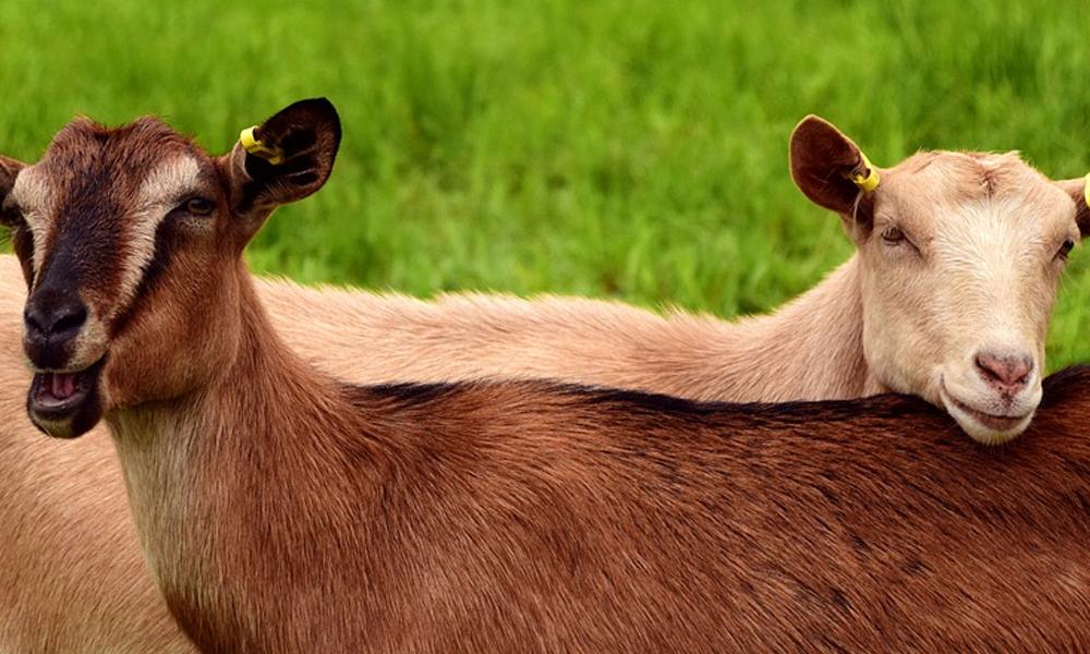 Fidan ekili alanda otlayan iki keçi gözaltına alındı