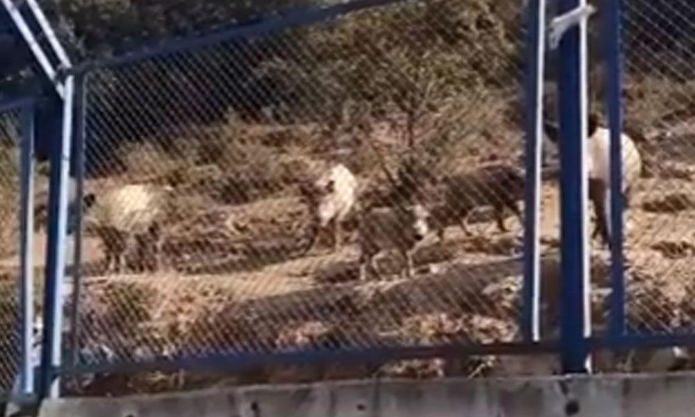 İstanbul'da aç kaldığı için şehre inen domuzlar, gökdelenlerin arasında sıkıştı kaldı!