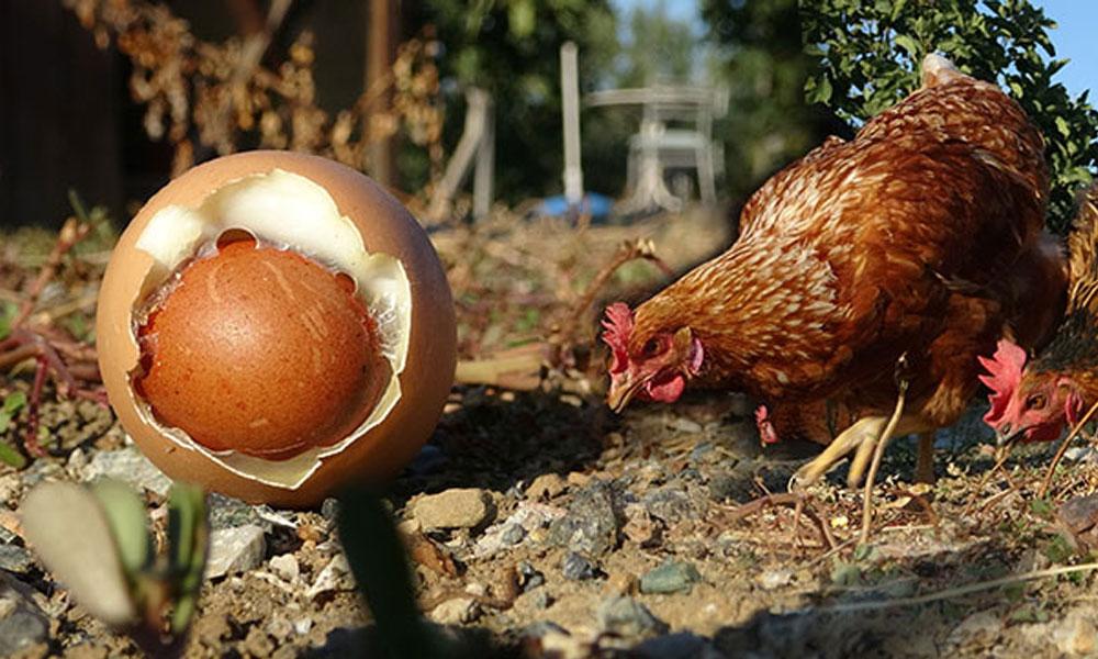 Yumurtanın içinden yumurta çıktı