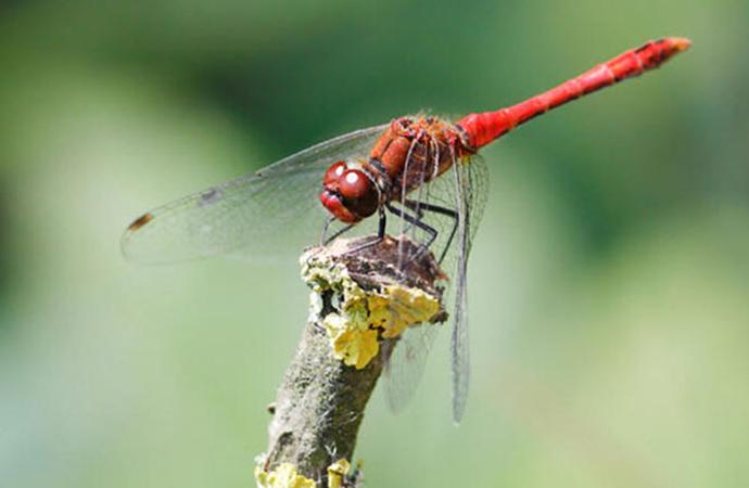 Dişi yusufçuklar erkeklerden kurtulmak için ölü taklidi yapıyor