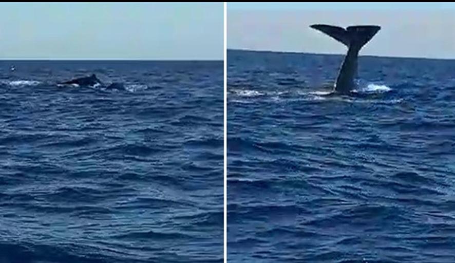 Alaçatı'da balina heyecanı! Yavrusuyla birlikte görüntülendi…