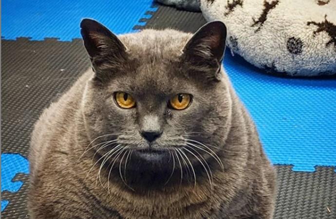 Günlük egzersizlerden her seferinde sıyrılmanın yolunu bulan obez kedi
