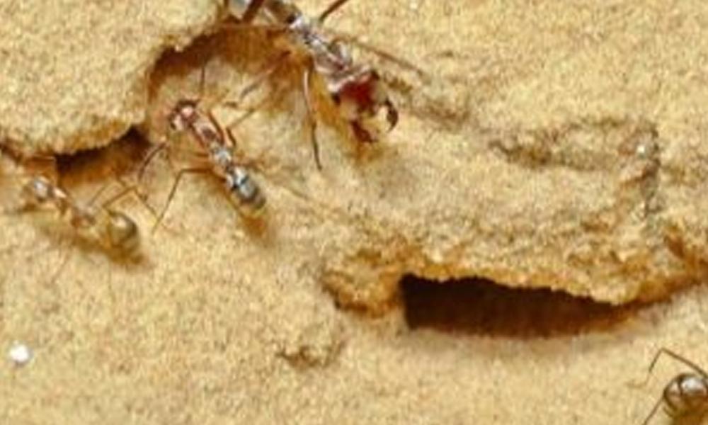 Dünyanın en hızlı karıncası keşfedildi