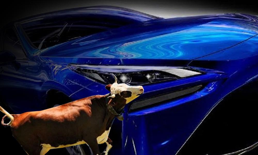 Toyota'nın yeni otomobili gücünü inek dışkısından alacak
