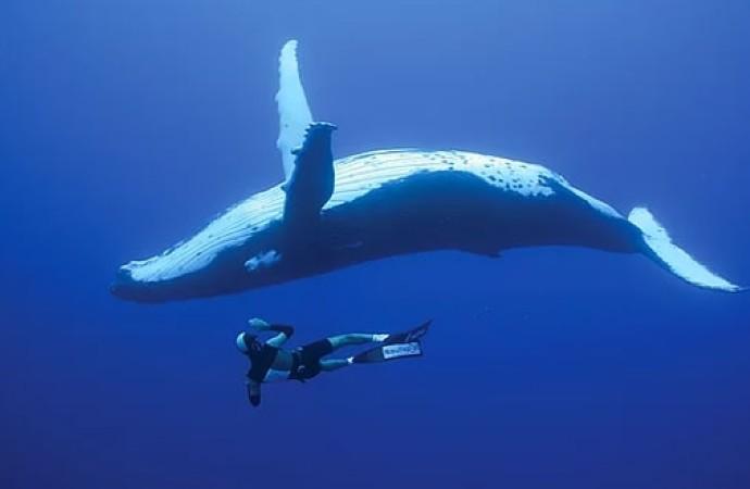 Mavi balinanın kalp atış hızı ilk kez ölçüldü