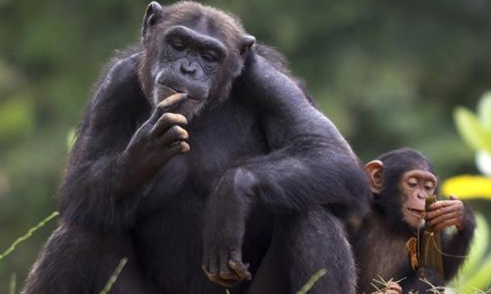 Bilim insanları iki ayak üzerinde yürüyebilen yeni bir büyük insansı maymun fosili buldu