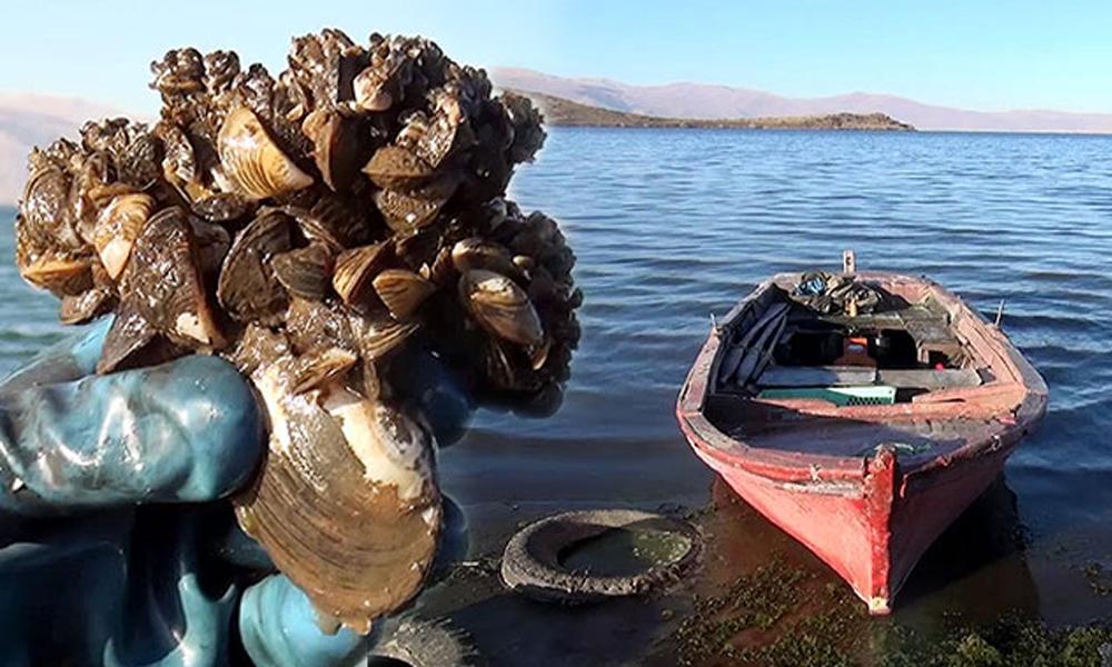 'Zebra midye', Çıldır Gölü'nü de tehdit ediyor