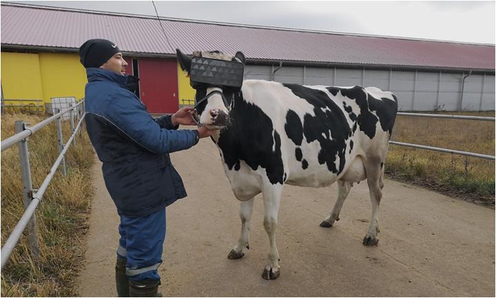Çiftçilerden süt kalitesini artırmak için ilginç yöntem: İneklere sanal gerçeklik gözlükleri taktılar