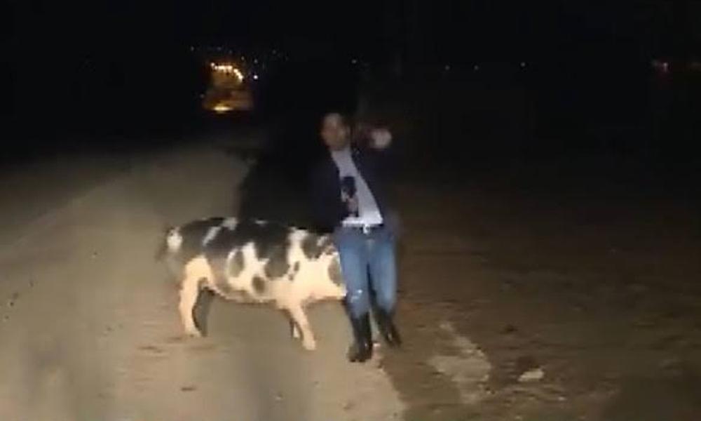 Canlı yayın yapan muhabiri domuz kovaladı