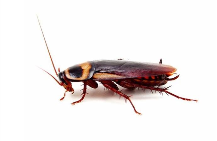 Hamam Böceği ailesine kulağında ev sahipliği yaptı