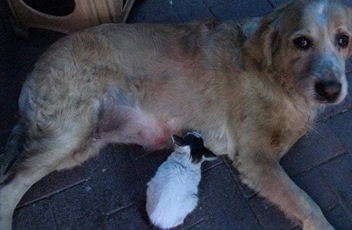 Annesinin dışladığı yavru kediyi, 'Tarçın' sahiplendi