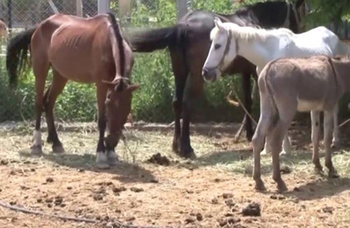 Türkiye Sudan'dan 500 ton at, eşek ve katır eti  ithal edecek!