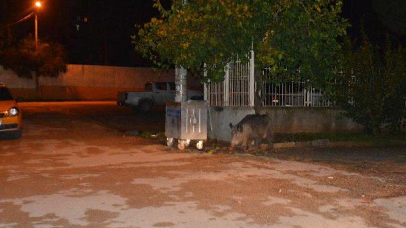 Şehir merkezinde yaban domuzu paniği! 'Saldırmaya çalıştı'