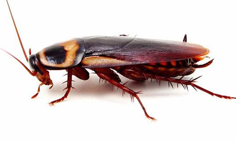 Hamile hamam böceği ameliyat edildi