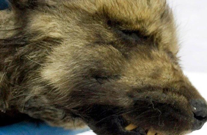 18 bin yıllık sırdı! Kurt mu köpek mi olduğu tartışılan hayvanın DNA sonucu geldi