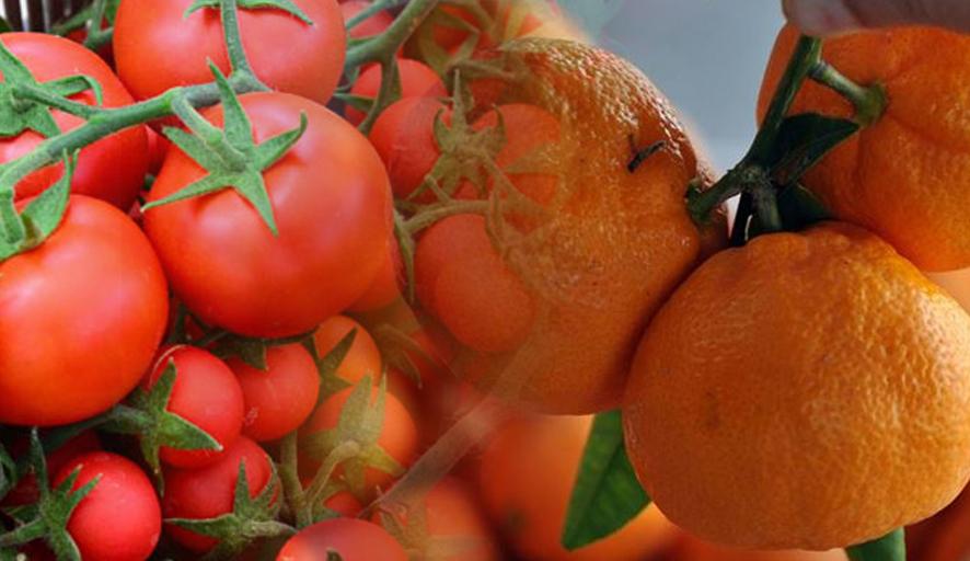 Rusya tonlarca Türk domatesini iade etti, mandalinalar denetimlere takıldı
