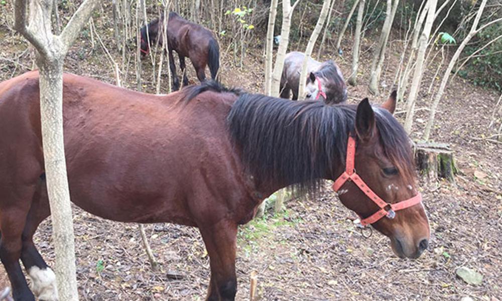 Karantina uygulanan Büyükada'da ormanlık alanda bekleyen atlar görüntülendi