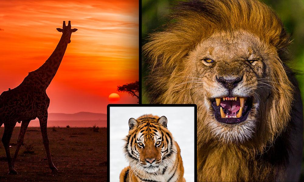Çita yavrusunun tüyleri onları av olmaktan kurtarır, nasıl mı? İşte Süha Derbent'in vahşi yaşam fotoğrafları