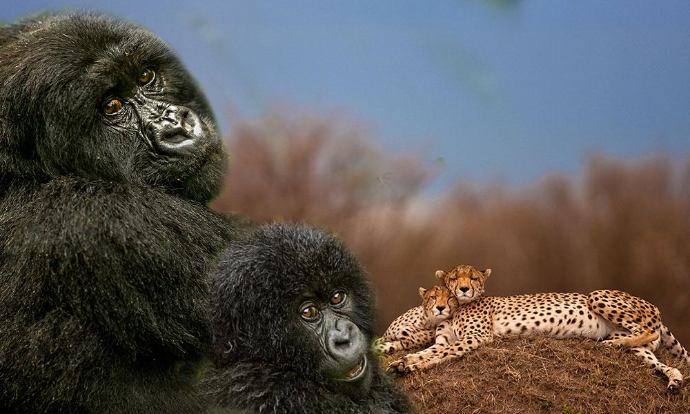 Karşısına geçip oturursanız Dağ Gorilleri de sizinle beraber oturur! İşte Süha Derbent'in Afrika gezisi